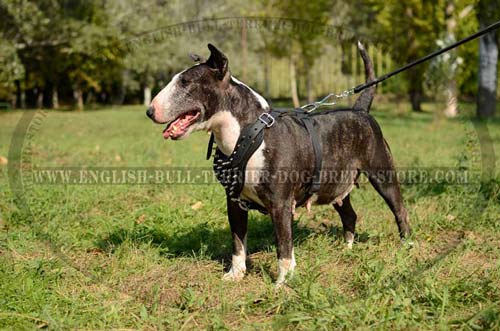 Bull Terrier dog wearing agitation harness