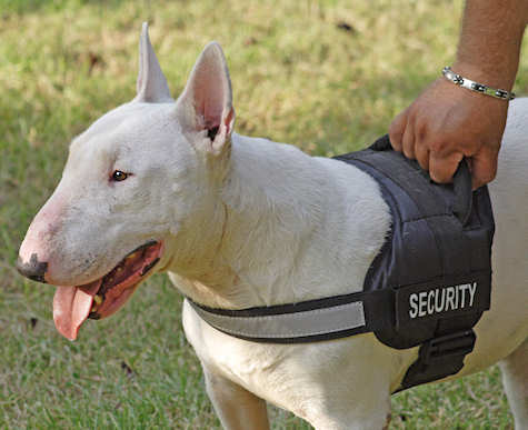 Bull Terrier dog in professional harness