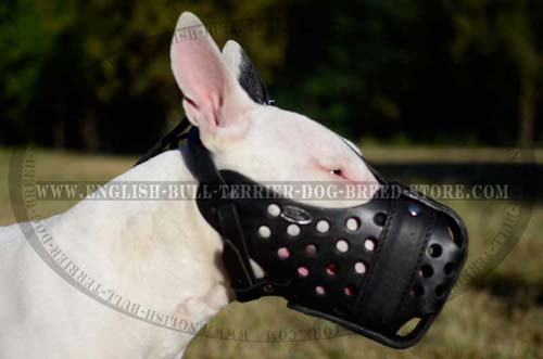 Bull Terrier wearing leather muzzle