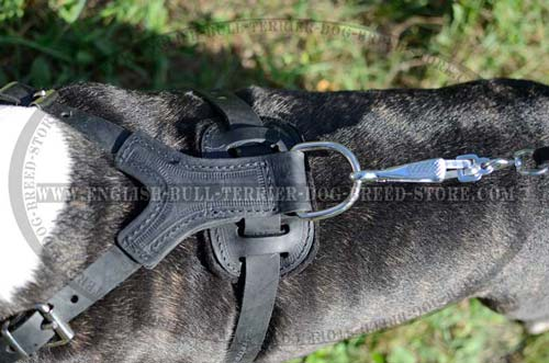 Bull Terrier harness with stitching