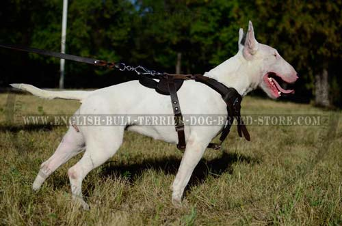 Leather dog harness for Bull Terrier