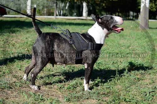 Bull Terrier wearing nylon training harness