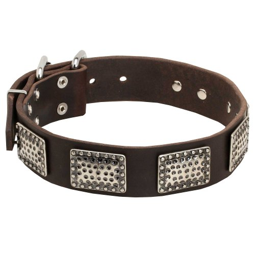 English Bull Terrier Leather Dog Collar Decorated with Gorgeous Massive Nickel Plates