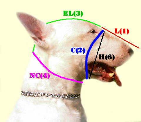 لكلب الثور(Bull Terrier)الانواع +صور+فيديوهات Bull-terrier-sizing-muzzle-for-buy-order-muzzle-bt