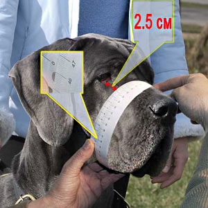 How to measure your Bull Terrier step 2
